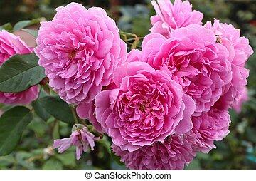 Harlow Carr Rose bush - variety of English rose.