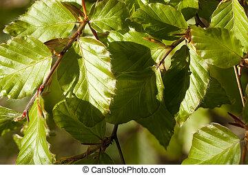 harnbeam - new, fresh leaf (carpinus betulus) as background
