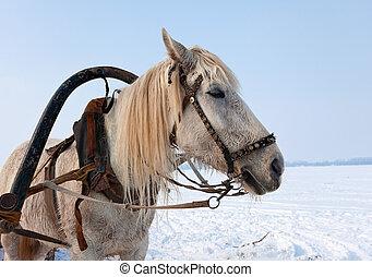 harness., tête, cheval blanc