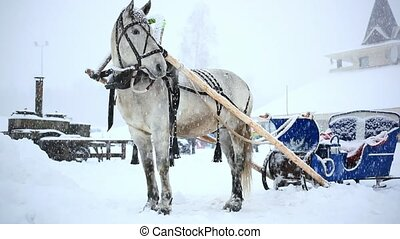 harnessed horse in winter warm Christmas day during heavy...