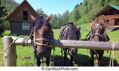 Harnessed horses on leash slow motion stock footage video