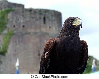 Harrier Hawk at Caerleon Castle
