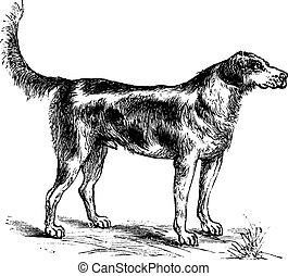 harrier, o, lupus de canis, familiaris, vendimia, grabado