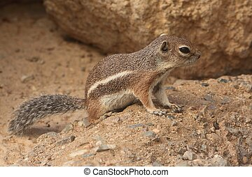 Harris Antelope Ground Squirrel (Ammospermophilus harrisii) ...