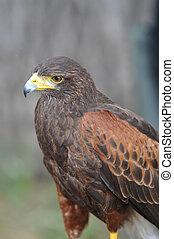 Harris Brown Hawk