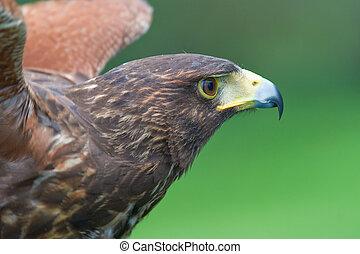 Harris' falcon -Parabuteo unicintus - Falcon's wonderful ...