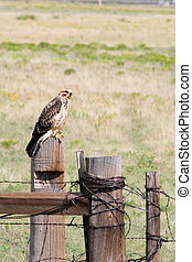 Harris Hawk 1 - An immature male Harris hawk poses on the ...