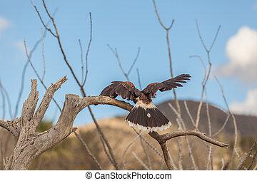 Harris Hawk - a harris hawk in the desert