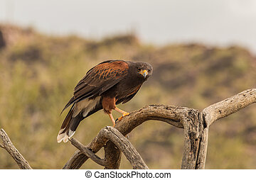 Harris Hawk - a harris hawk perched on a dead branch