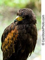 Harris hawk, also called Dusky hawk or Bay-winged Hawk