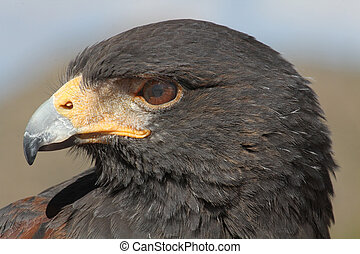 Harris Hawk - Close up of a Hawk
