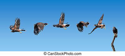 Harris Hawk flying. Isolated hawk against blue sky