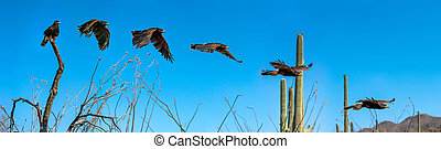 Harris Hawk flying. Isolated hawk against blue sky - Harris ...