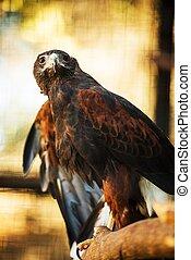 Harris Hawk - Harris' Hawk Formerly Known As The Bay-Winged ...