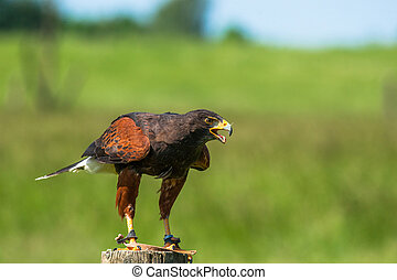 Harris hawk on a wooden pole