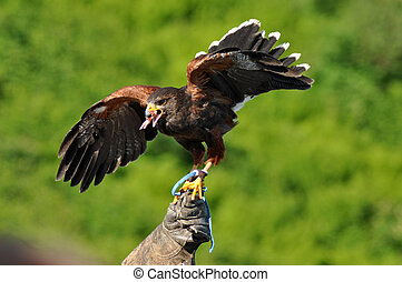 Harris hawk on handler's hand