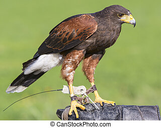 harris hawk outdoor on glove falconer