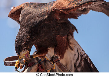 Harris Hawk Parabuteo unicinctus a bird of prey