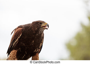 Harris Hawk Parabuteo unicinctus a bird of prey on a perch ...