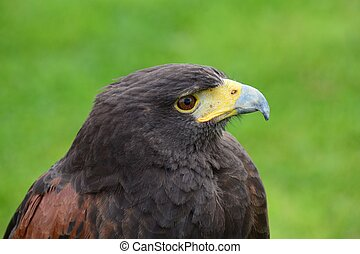Harris hawk (parabuteo unicinctus) - Close up portrait of a ...