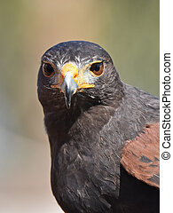 Harris hawk (Parabuteo unicinctus) - Closeup portrait of a ...