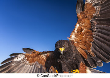 Harris Hawk, Parabuteo Unicinctus, in flight and landing. ...
