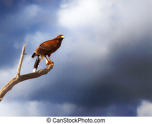 harris hawk parabuteo unicinctus on branch with stormy sky ...