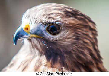 Harris Hawk (Parabuteo unicinctus) -raptor bird