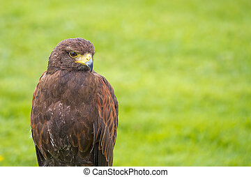 Harris Hawk, Parabuteo unicinctus. - The Harris' hawk (...