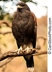Harris Hawk Perched on a Branch