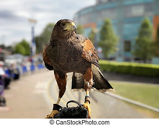 Harris Hawk perched on the arm of a falconer.