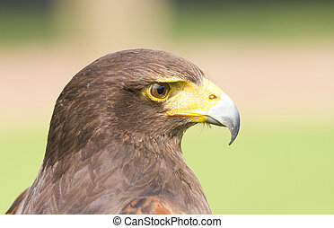 Harris Hawk - Portrait of a Hawk