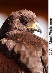 Harris Hawk staring over shoulder