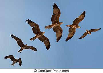 Harris hawk's flight sequence.