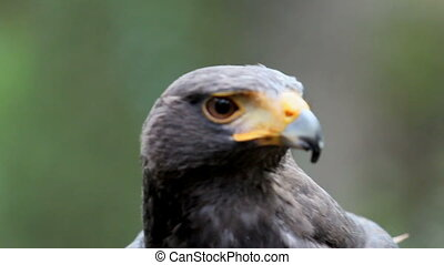 Harris's hawk aka Parabuteo unicinctus