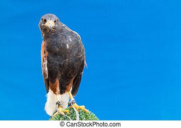 Harris's hawk, bay-winged hawk or dusky hawk over blue ...
