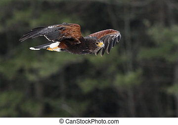 Harris's Hawk in Flight - A Harris's Hawk (Parabuteo ...