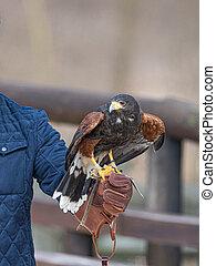 Harris's hawk laid on a falconer's glove - Harris's hawk ...