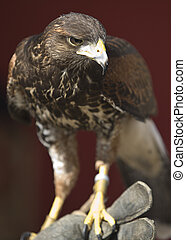 Harris's Hawk on glove
