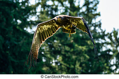 Harris's hawk, Parabuteo unicinctus, bay-winged hawk or ...