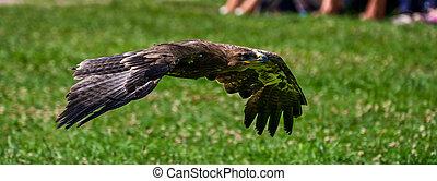 Harris's hawk, Parabuteo unicinctus, bay-winged hawk or dusky hawk