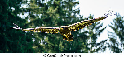 Harris's hawk, Parabuteo unicinctus, bay-winged hawk or ...