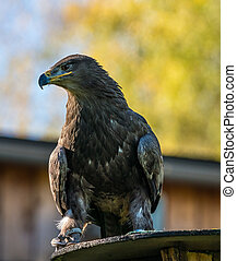 Harris's hawk, Parabuteo unicinctus, bay-winged hawk or dusky hawk