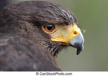 Parabuteo unicinctus - Harris's hawk, Parabuteo unicinctus, ...