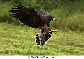 Harris's Hawk (Parabuteo unicinctus) - Ecuador