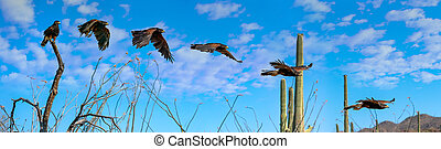 Harris's Hawk Parabuteo unicinctus flying sequence Saguaro...