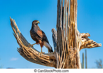 Harris's Hawk Parabuteo unicinctus in Sonoran Desert