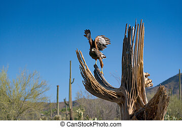 Harris's Hawk Parabuteo unicinctus in Sonoran Desert - ...