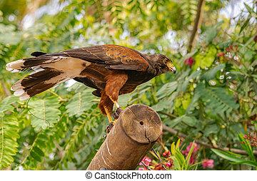 Harris's hawk (Parabuteo unicinctus), on a wooden log, with ...