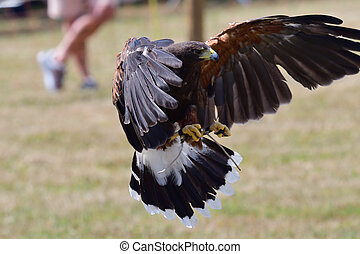 Harris's hawk (parabuteo unicinctus) - Portrait of a Harris ...